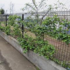つるバラはフェンスを緑の葉で覆っています