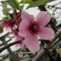 咲き終わりに花の色が一番濃くなるアーモンドの花