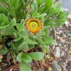 蕾も大きくなり花びらが顔を覗かせています