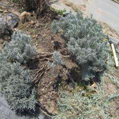 枯れた枝を取り払い風通しを良くします