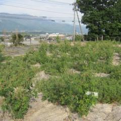 事務局前のローズ畑が開花しました