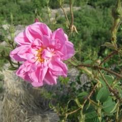 鮮やかなピンク色の花です