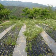 農場で最初の収穫が終わったカモマイル・ジャーマン畑