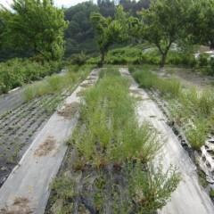 農場研修で収穫したカモマイル・ジャーマン畑