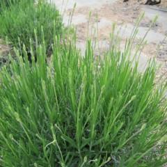 オカムラサキ(遅咲き4号)は花穂が長く伸び始めました