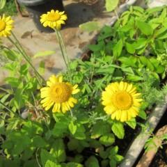 染色用のダイヤーズ・カモマイルは大きな黄色い花