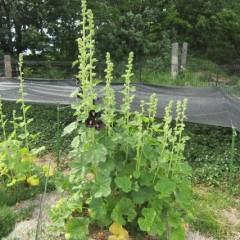 ブラックマロウが咲きました