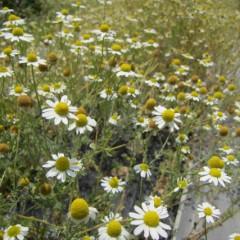 1番花に比べて花数も少ない3番花です