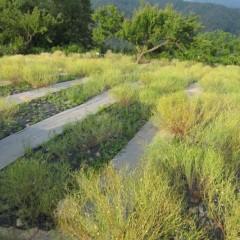 収穫の終わったカモマイル・ジャーマン畑