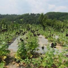 農場のブラックマロウ