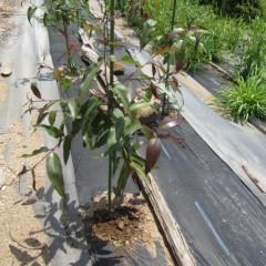 5月中旬に植えたユーカリ・レモン