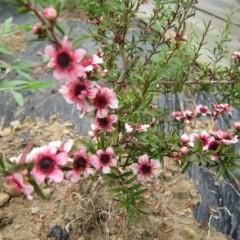 マヌカの赤花