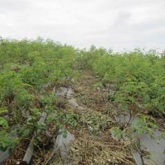 除草すると風通しが良くなり病気も防げます