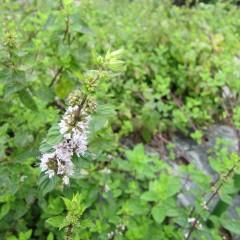 ベルガモットミントの花
