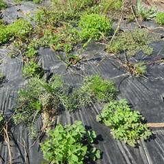 雑草に混じってカモマイル・ジャーマンも芽を出していました