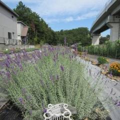 二季咲き性の強い品種は条件が整えば秋にも咲きます