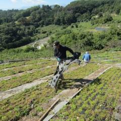 雑草で埋まってしまったカモマイル・ジャーマン畑