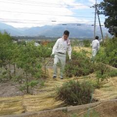 稲ワラを敷くと雑草も防げます