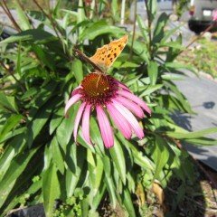 何処からともなく蝶が蜜を吸いに来ていました