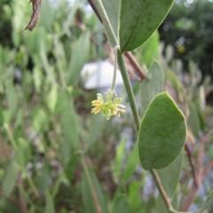 ホホバは雄雌異株の植物です