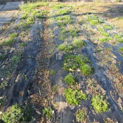 カモマイル・ローマン畑