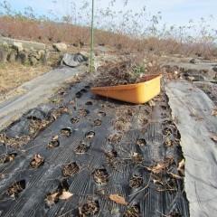 地下茎は生きているので枯れた地上部だけ刈り取ります