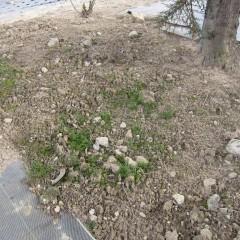 畑の外にこぼれた種が発芽したカモマイル・ジャーマン
