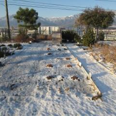 昨日降った雪が畑を覆っています