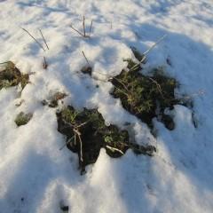 溶け始めた雪の下から顔を出しました