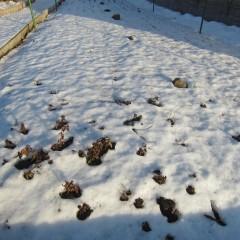 ペパーミント畑