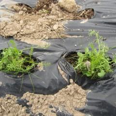 越冬中の苗は伸び始めた雑草でこの有様