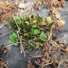 ベルガモットミントの新芽は押しくらまんじゅう状態