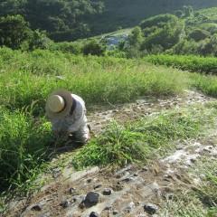 畑に這いつくばって汗まみれ、土埃まみれになっての作業です