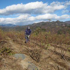 ローズ畑では耳がちぎれる様な寒さの中、除草作業が続いています
