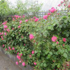 事務局前のつるバラも次々に咲き始めています