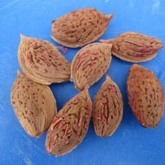 この種を1~2週間乾燥させて割ると中からご存じのアーモンドが出て来ます