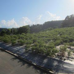 今日も日が傾くまでローズに埋もれながら除草作業が行われています
