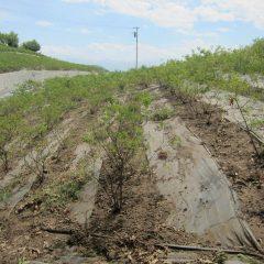 除草作業が終わったローズ畑