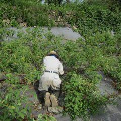 別の畑も手分けして除草作業をしています