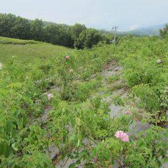 除草作業中に二番花を咲かせている株を見つけました