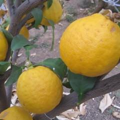 果実も黄色く熟しています