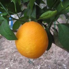 正にオレンジ色の果実です