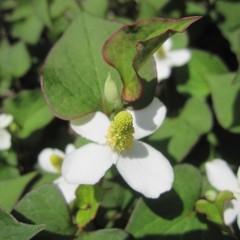 純白の花が咲き始めました