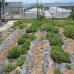 事務局前のカモマイル・ローマン畑