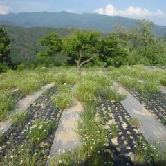 農場のカモマイル・ジャーマン畑