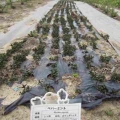 農場のペパーミントはグングン大きくなっています