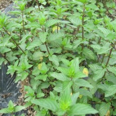 黄色く変色していたスペアミントも緑鮮やかな葉が出て来ました