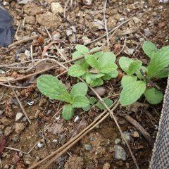 こぼれ種から発芽した苗を発見しました