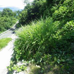 ススキやクズなどの雑草に覆われてしまっています