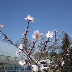 アーモンドは次々に花を咲かせています